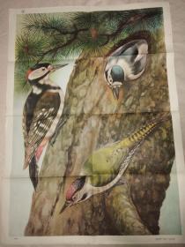 初中中学动物学教学挂图 脊椎动物——鸟纲第二辑9啄木鸟