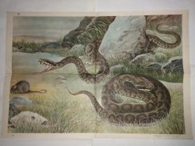动物学教学挂图 脊椎动物——爬行纲蝮蛇