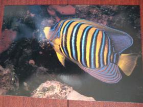 热带鱼明信片3一张,(空白)