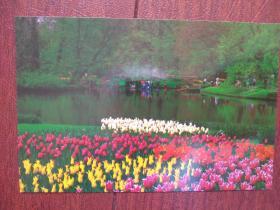 荷兰公园郁金香明信片1一张,(空白)