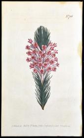 稀有精美铜版画-1803年英国柯蒂斯植物图谱706号-石南花,手工上色