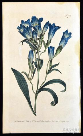 稀有精美铜版画-1803年英国柯蒂斯植物图谱705号-龙胆草,手工上色