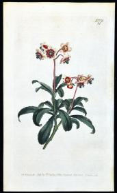 稀有精美图谱-1804年英国柯蒂斯植物铜版画778号- 鹿蹄草,手工上色