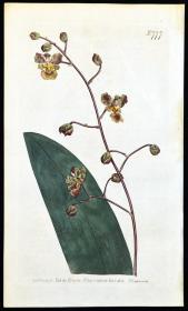 稀有精美图谱-1804年英国柯蒂斯植物铜版画777号- 树兰,手工上色