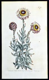 稀有精美图谱-1804年英国柯蒂斯植物铜版画776号-灰毛菊,手工上色