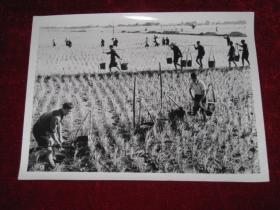 四川省眉山县委干部在田间和社员一起劳动    照片长20厘米宽15厘米    A箱