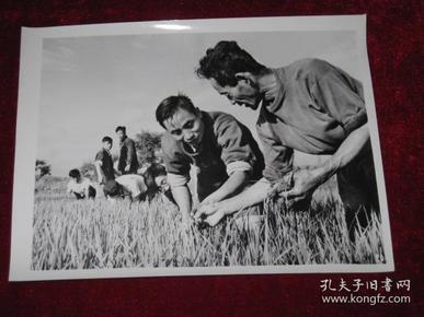 吉林省农业科学研究人员王良泉和崔竹松在田间劳动    照片长20厘米宽15厘米    A箱