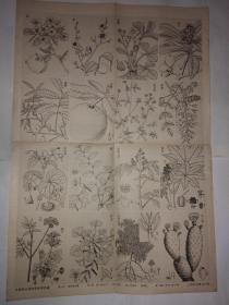 中等学校植物学教学挂图第三组第十幅 种子植物 三 被子植物 双子叶植物 离瓣类