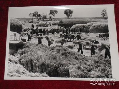 安徽省界首县杨砦公社童庄大队刘砦第三生产队在收获小麦    照片长20厘米宽15厘米    A箱