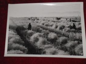 云南省江川县渔村公社社员在收割油菜籽     照片长20厘米宽15厘米    A箱