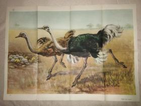 初中中学动物学教学挂图 脊椎动物-鸟纲第二辑 鸵鸟