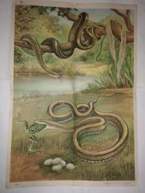 动物学教学挂图 脊椎动物——爬行纲 黄颌蛇