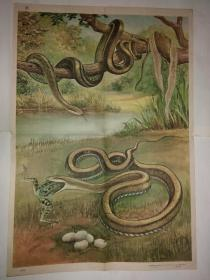 动物学教学挂图 脊椎动物——爬行纲黄颌蛇