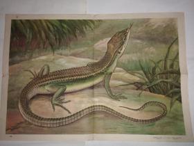 动物学教学挂图 脊椎动物——爬行纲蜥蜴