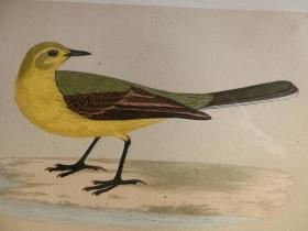 【百元包邮】1852年 手工上色 石版画 鸟类 黄鹡鸰 YELLOW WAGTAIL  尺寸约25×15.5厘米  (货号301008)