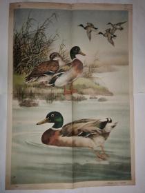 初中中学动物学教学挂图 脊椎动物-鸟纲第二辑 野鸭