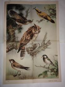 初中中学动物学教学挂图 脊椎动物-鸟纲第二辑 益鸟
