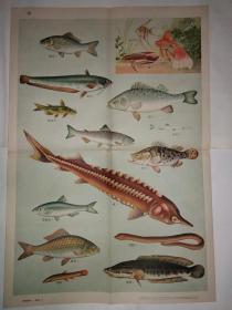 动物学挂图 第一组脊椎动物——渔类(二)