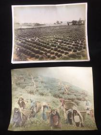 【铁牍精舍】【影像精品】 【茶叶资料】1880年前后台湾乌龙茶茶园手彩蛋白照两种,25.8x20cm,人物为高山族形象,当为台湾乌龙茶茶园