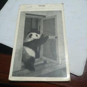50年代外文出版社出版:大熊猫早期册式明信片11枚【吴宝基摄影】