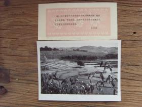1963年,四川省泸州市沙湾公社,秋色中的稻田