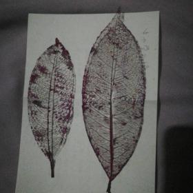 两张紫色标本叶子大约1970年收藏版