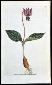 稀有1787年精美英国铜版画-柯蒂斯植物5号-片栗花,手工布纹纸带水印,手工上色