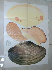 河蚌  挂图2张