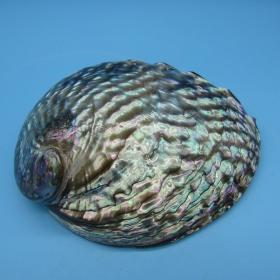 顶级纯天然稀有墨西哥鲍鱼壳,国外进口,花纹漂亮,品相一流,质地细腻,非常不错可遇不可求的大海珍宝值得永久收藏