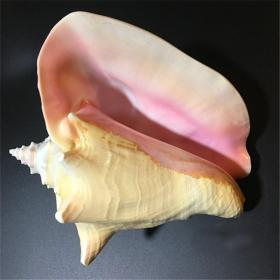 顶级纯天然稀有大凤凰螺胭脂螺天然大贝壳,品相一流,质地细腻,非常不错可遇不可求的大海珍宝值得永久收藏