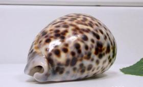 顶级纯天然稀有豹纹螺,品相一流,质地细腻,非常不错可遇不可求的大海珍宝值得永久收藏