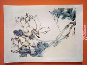 白牡丹(册页26*35cm)折叠寄送