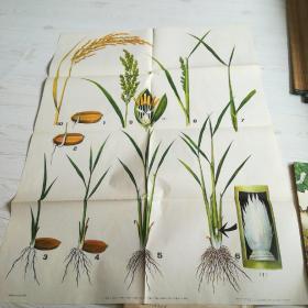 74年中学农业基础知识教学图片1:种子的萌发过程(全套2幅】2花的构造(全套2幅】.3:茎的构造(全套2幅】4:根的构造(全套2幅】.5:种子的构造(全套2幅】.6:油菜的生长发育过程(全套:1幅】7:水稻的生长发育过程(全套:1幅】1开大合售