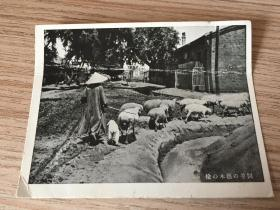民國日本印刷《榆木樹蔭下的羊飼》一枚