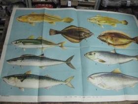 教学挂图:我国主要的海洋鱼类  一