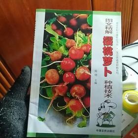 图文精解樱桃萝卜种植技术