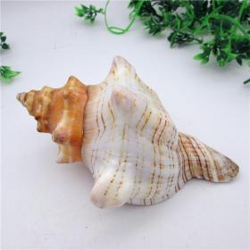 顶级纯天然稀有海螺,品相一流,质地细腻,非常不错可遇不可求的大海珍宝值得永久收藏