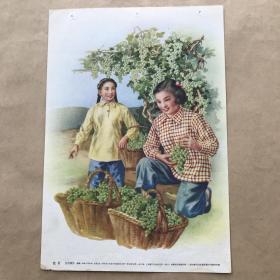 年画:葡萄,16开,金雪尘绘,上海画片出版社1955年1版2印