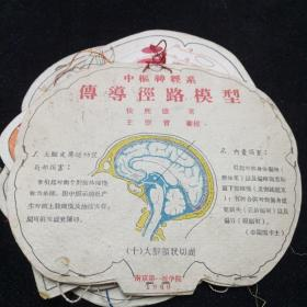 中枢神经系传导经路模型。