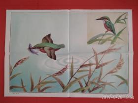 小学语文课本第五册教学挂图 课文《 翠鸟》