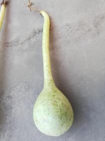 文玩葫芦;长柄葫芦长约70厘米葫芦里有种子