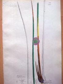 1840年《爱德华史密斯的英国植物图谱---密花灯心草》(Juncus conglomeratus)--铜版雕刻,手工上色--21.5*14厘米