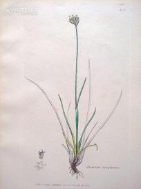 1840年《爱德华史密斯的英国植物图谱---贴苞灯心草》( Juncus triglumis)--铜版雕刻,手工上色--21.5*14厘米
