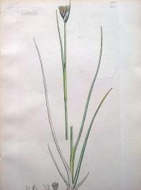 1840年《爱德华史密斯的英国植物图谱---栗花灯心草》(Juncus castaneus)--铜版雕刻,手工上色--21.5*14厘米