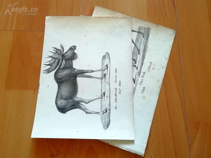 19世纪石版画2幅《麋鹿和狍子》--纸张23*17厘米