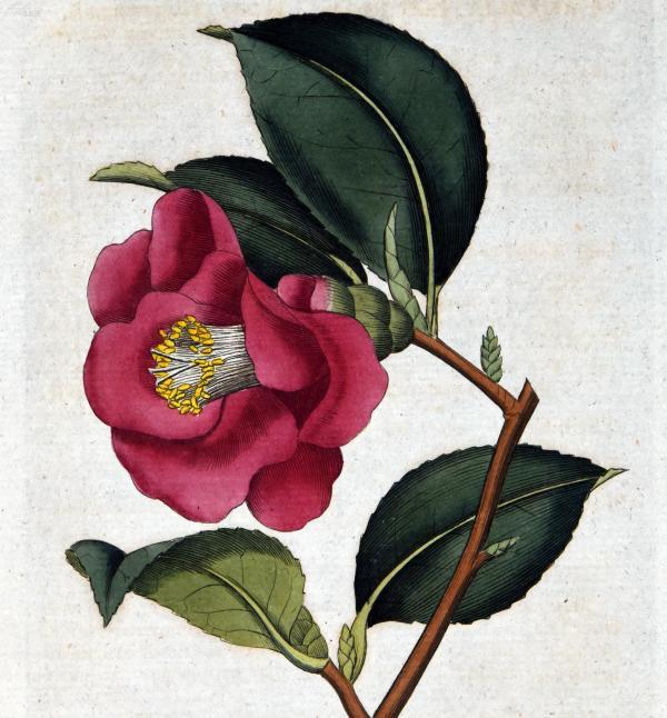 稀有1787年精美英国铜版画-柯蒂斯植物42号-山茶花,手工布纹纸,手工上色