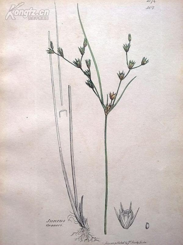 1840年《爱德华史密斯的英国植物图谱---细茎灯心草》(Juncus Gesneri)--铜版雕刻,手工上色--21.5*14厘米