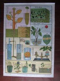50年代自然科学植物挂图:第十六图 植物的构造及生理(上海新亚书店出版,二开)
