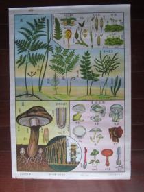 50年代自然科学植物挂图:第十四图 低等植物(沈士秋作,上海新亚书店出版;二开)