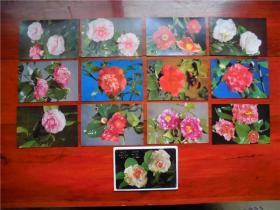 《茶花》明信片 上海人民美术出版社出版一套十二枚1987年发行